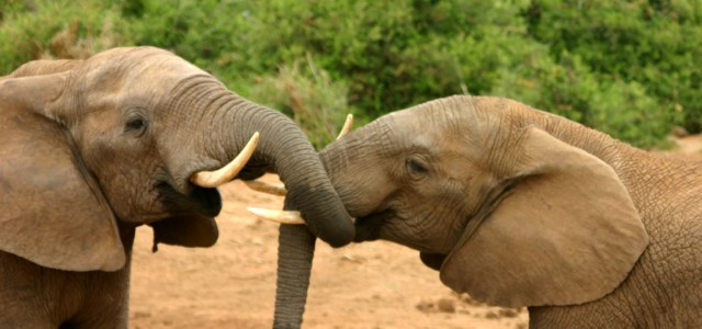 This Woman Allegedly Led an Elephant-Slaughter Ring