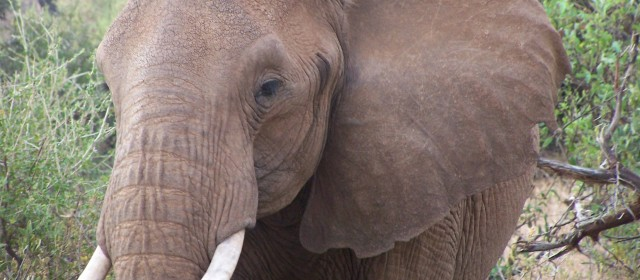 A Lonely Elephant Cautiously Explores Post-War Somalia
