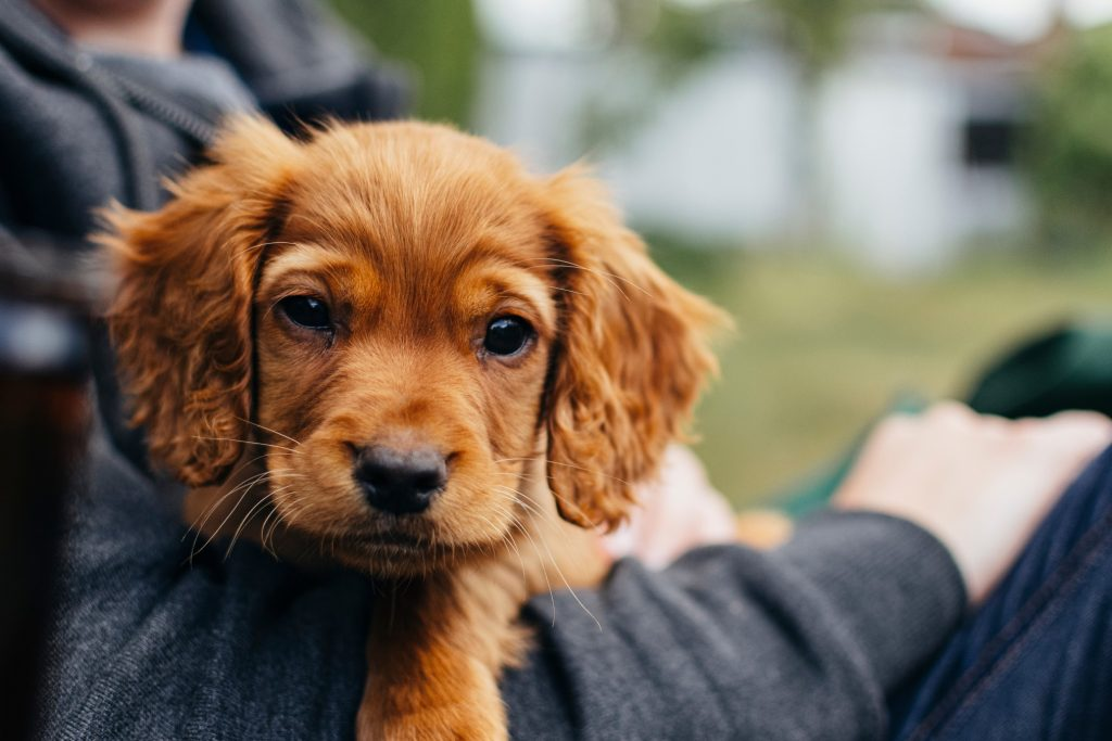 a-red-cocker-spaniel-puppy-having-a-cuddle-in-the-arms-of-his-owner-in-a-uk-garden-puppy-puppies_t20_vL2Z8z