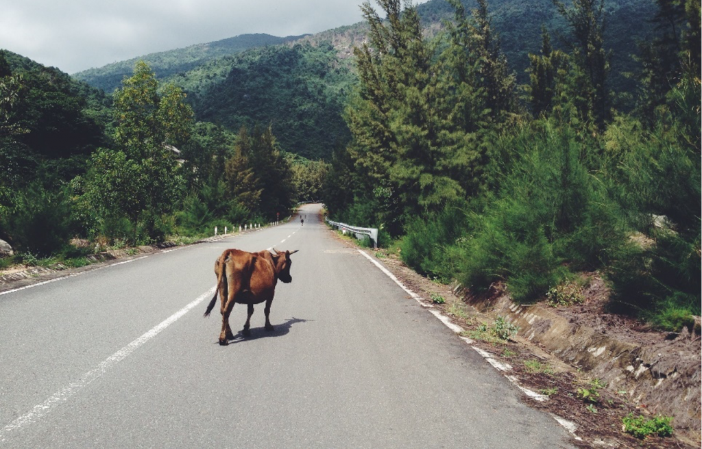 A cow on the road