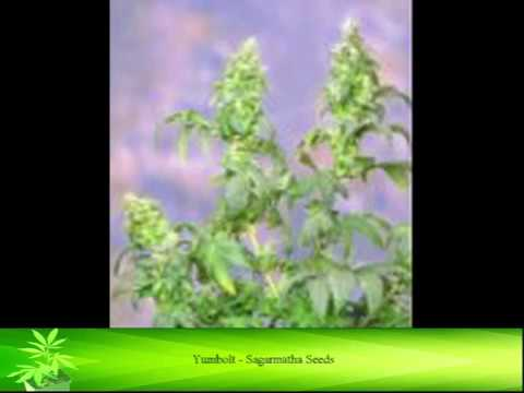 XYZ Cannabis Strains