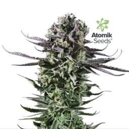 Blue Cheese Atomik Seeds 2017-10-30