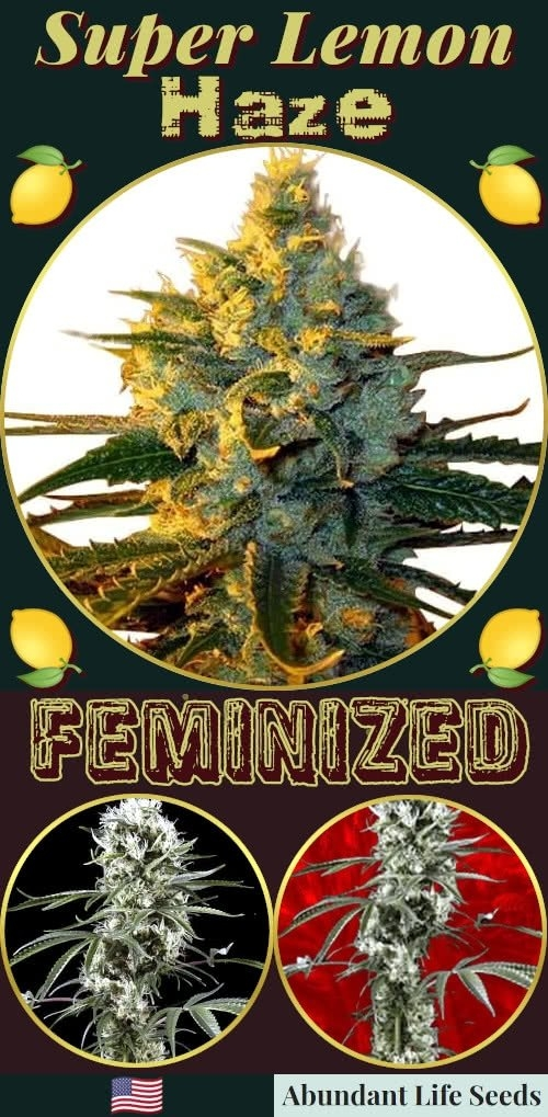 super-lemon-haze-seeds-for-sale