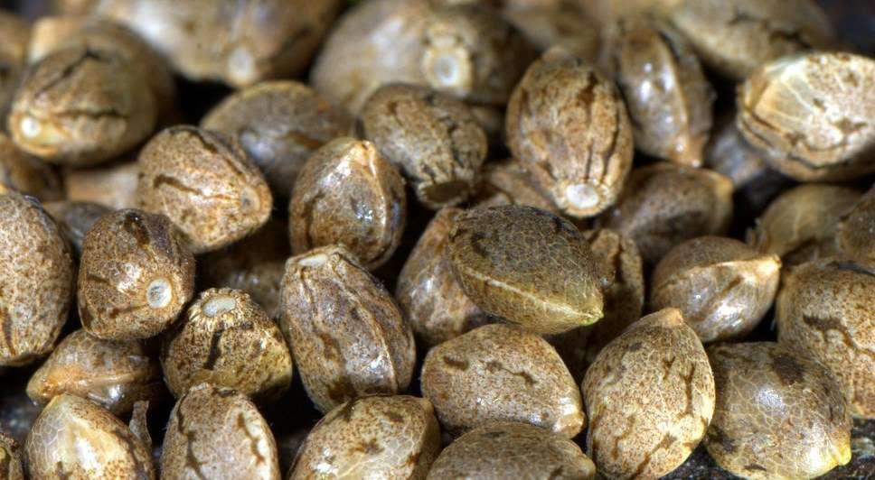 Конопля без семян тест иммунохром марихуана экспресс