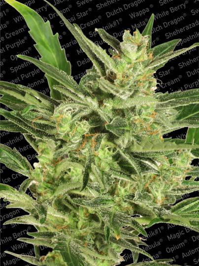 Automaria II - Kite high… If you are looking for an auto variety that comes with a soaring sativa high, then look no further than Automaria ll, our original auto-flowering strain. When these quick flower varieties became popular a few years back, we put all our knowledge and expertise to the task of creating a range of Paradise Seeds autos. Our aim was to retain the benefits of automatic flowering that Ruderalis genetics bring, while ensuring the quality that was so often lacking in this type of plant. We are pleased to say, we succeeded!