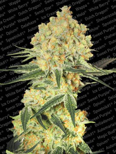 Auto Wappa - Juice Bomb… Auto Wappa is a flavorful auto-flowering strain that performs with speed and produces big yields that taste great and drip with potency. We are very proud of Auto Wappa, because it took a lot of work to take the award winning qualities of the original Wappa and breed an auto-flower variety that could do it justice. The results, however, are very pleasing and have been impressing growers and smokers since we introduced the strain.