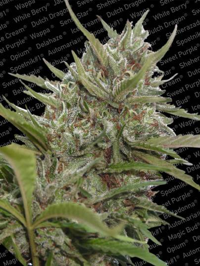 Auto Whiteberry - Sweet Beauty… Auto Whiteberry is as beautiful and just as deadly as our feminized version, the only difference is that her exotic buds come from a smaller plant and are set to an auto-flower timer. When we produced an auto-flowering range, we chose some of our favourite Paradise varieties to replicate, and one of these was White Berry. We chose her because the original was the product of much time and effort, a new generation strain that combined the finest elements from classic ancestors. The result was close to the perfect model cannabis plant.