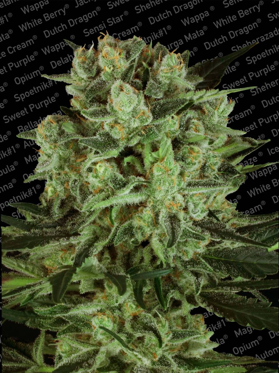 Durga Mata CBD+ (Medicinal) - Mama Earth… In recent years we have invested in the research and development of new varieties that have medical cannabis qualities and Durga Mata ll CBD, which has been developed with the CBD crew, is one of these strains. We decided to use Durga Mata because it is one of our feminized strains that already has a reputation for producing big resinous buds that throw a thick fluffy blanket of indica relaxation around those that smoke it. The original Durga Mata was already a top choice for medical users, so we decided to enhance its medicinal powers.