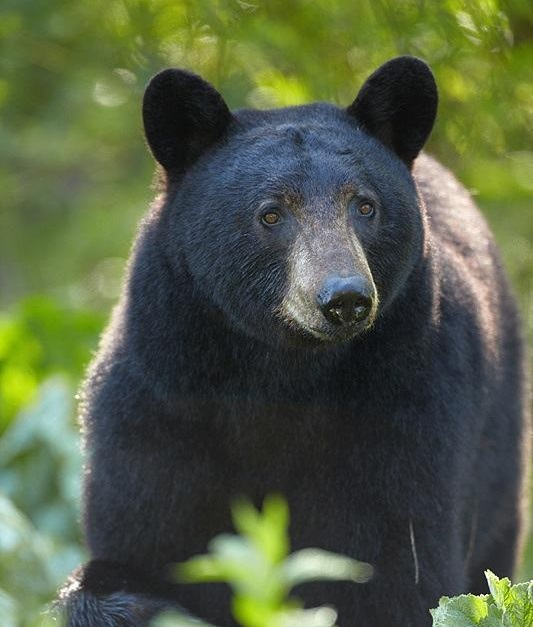 Black Bear | WildSafeBC - photo#6