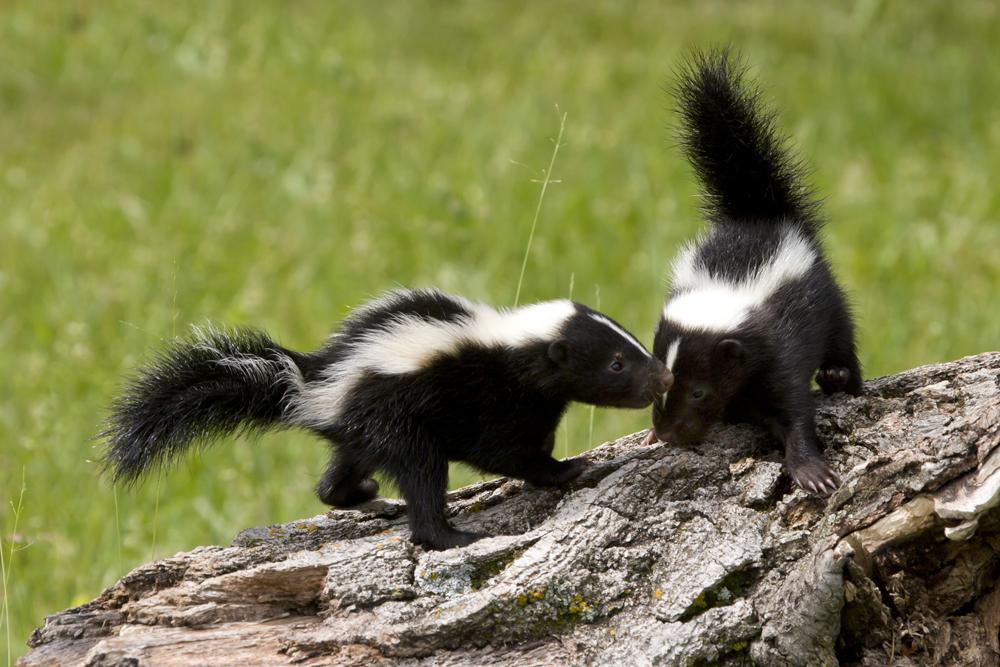 skunk wildsafebc