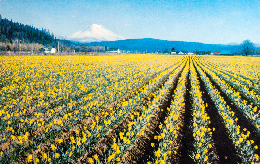 Mt. Rainier and Daffodil Fields. Washington.