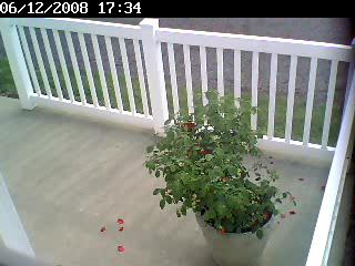 rosebush-after