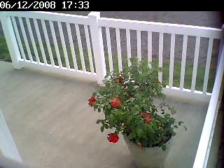 rosebush-before