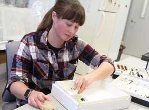 Megan Asche pinning insects in her lab