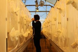 Dowen working in the WSU Greenhouse