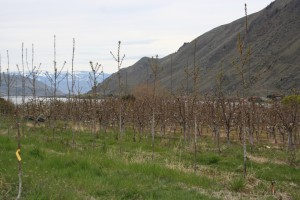 Eastern Washington orchard view