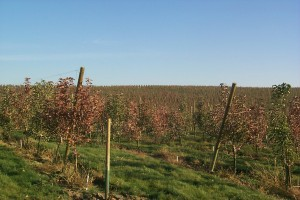 A block of apple trees infected with fire blight (photo courtesy of Tim Smith)