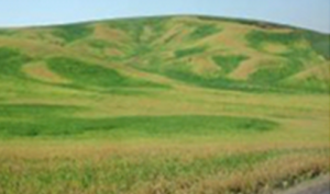Figure 1. Patterns of wheat senescence due to landscape and soil controls over soil water.