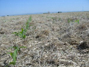 No-till corn with surface residues (photo: McGuire)