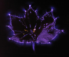Photograph of a leaf using Kirlian techniques used to capture the phenomenon of electrical coronal discharges. (photo: Tor Paulin)