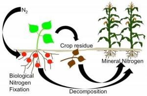 Biological Fixation provides nitrogen fertility. (Figure: N. Mothapo, North Carolina State University)