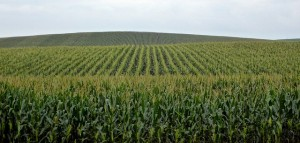 Corn production.  Photo: A. Eminov