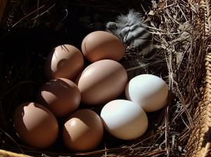 Literal or metaphorical eggs in one basket? Photo: G. Bierman