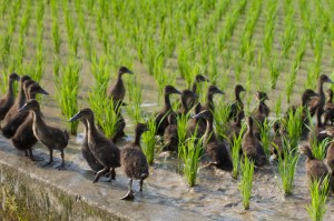 Ducks used to eat pests and weeds in rice paddies. Photo: S. Moore
