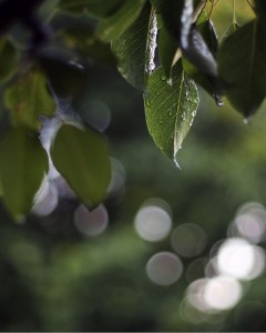 Pear trees in the rain.  Photo: Flickr Creative Commons
