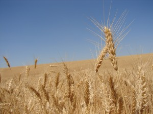 Wheat growing in a monoculture in eastern WA. Photo: Seattle.roamer