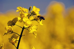 Canola flowers attract beneficial insects. Photo: C. Rebler.