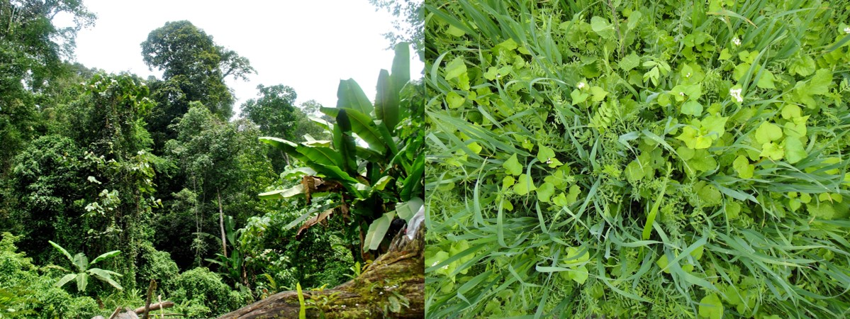 Do ecological theories of natural biodiversity apply to cover crop polycultures?  Photos left to right: A. Losi & A. McGuire.