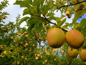 High value tree fruit may get priority when it comes to water in drought years. Photo: L. Seaton