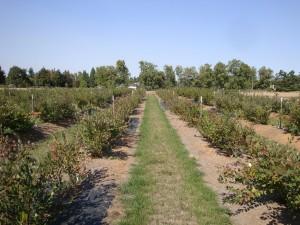 Organic blueberry field, Skagit County, WA.