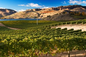 Chelan, WA vineyard. Photo: A. Simonds