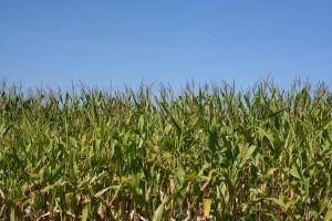 Corn grown for biofuel. Photo: S. Seskin via Flickr CC.