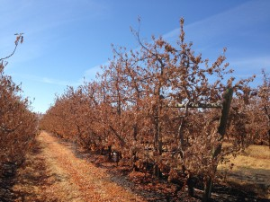 Apple orchard in the Roza Irrigation District, Washington State. September 2015. Photo: S. Hall
