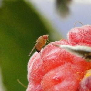 B. Gerdeman will study the potential of predatory flies as pest control in raspberry for spotted wing drosophila (pictured). Photo: H. Burrack, NCSU, Bugwood.org via Flickr CC.