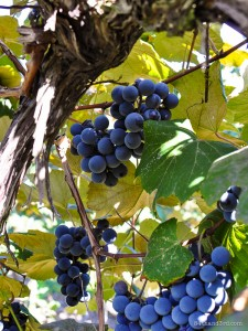 T. Sullivan will study the use of cover crops in Concord grapes. Photo: J. Jenner via Flickr CC.