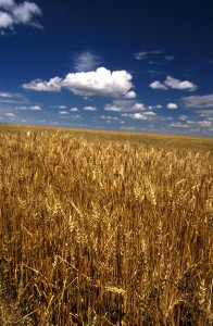 Wheat field under blue skies with scattered white clouds