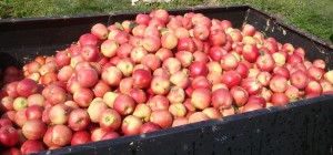 'Gala' apples being harvested as part of a WSU organic apple study in Wenatchee. Photo: D. Granatstein.