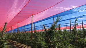 "An example of red and blue ""photoselective"" nets hanging over a Honeycrisp Orchard in WA State. Research shows that nets like these can help improve the light quality and insulate against a changing climate. Photo: B. Anthony"