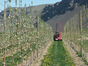A modern, high density trellised apple orchard at the WSU Sunrise Research Orchard, Wenatchee. Photo: D. Granatstein.