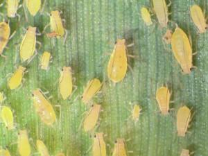 New aphid pest in Washington and northern Idaho: Metopolophium festucae cerealium feeding on wheat. Photo: Brad Stokes, University of Idaho.