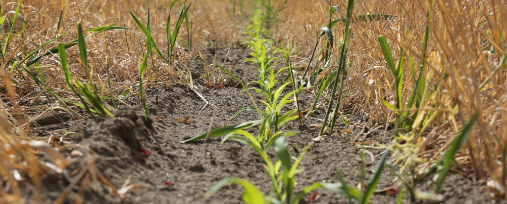 Corn plants coming up among strips of wheat.  Photo: D. Kilgore.
