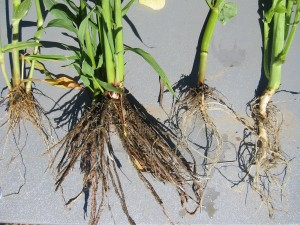 Roots of mustard, buckwheat, sorghum, millet, left to right. Photo: A. McGuire.