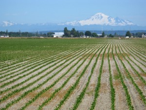 Future climate change is expected to necessitate a wide range of  agricultural adaptation strategies. Photo credit: Gord McKenna, Mt. Baker and Ladner Fields 2008, CC by NC ND 2.0.]