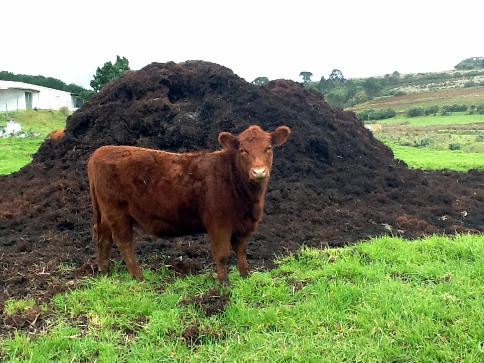 Can Manure Supply Nitrogen and Phosphorus to Agriculture? | CSANR | Washington State University