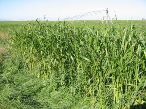 Tall, green grass growing in a field with irrigation equipment in the background