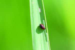 small larvae on wheat leaf with some green color stripped on leaf